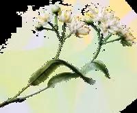 Flori de tei: alungă tusea!