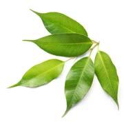 Arbore de ceai | © SONNENTOR
