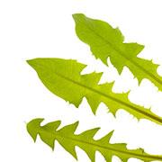 Frunze de păpădie Ecologic | © SONNENTOR