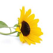 Frunze de floarea soarelui | © SONNENTOR
